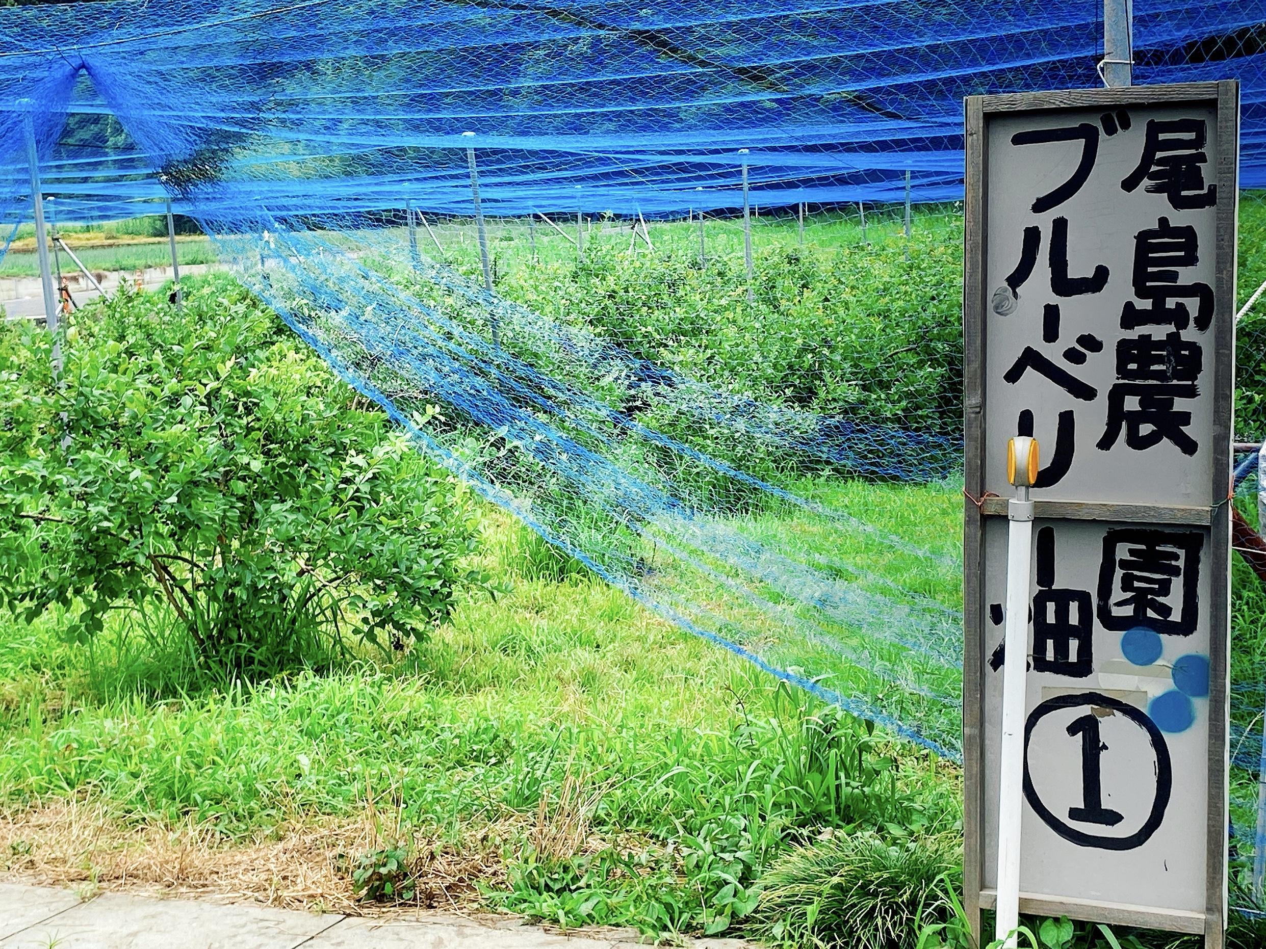 見沼区御蔵 尾島農園 クマガイソウ ブルーベリー畑